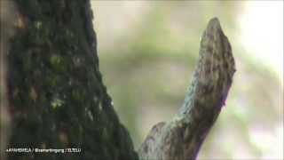 Flying Dragon (Draco Volans) Betina