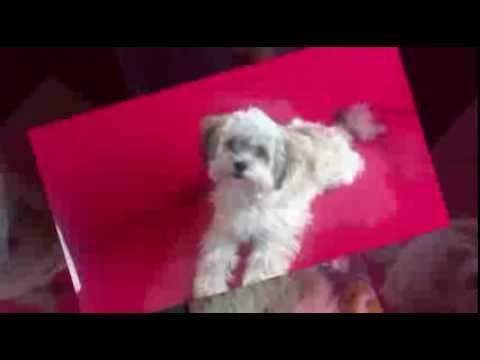 Bolonka Zwetna Entwicklung vom Welpen zum Junghund