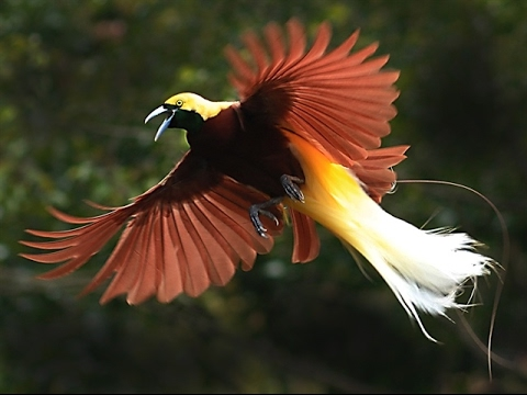 bbc planet earth birds of paradise mating dance youtube