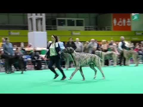 Dukesarum Giacomo Crufts 2018 Dogs Junior Class Irish Wolfhound