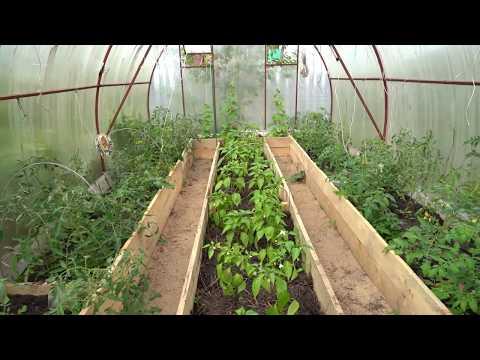Обзор теплицы. Результаты на конец мая. Посадка томатов и перца в одной теплице.