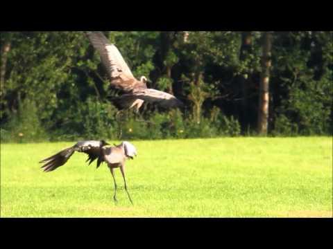2012-06-22 dansende kraanvogels