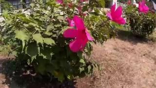Гибискус травянистый розового цвета