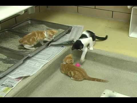Adopt kitten named Moo-ee from Fort wayne Animal Care & Control