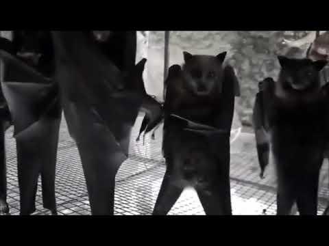 Hanging bats filmed upside-down look like a Goth nightclub