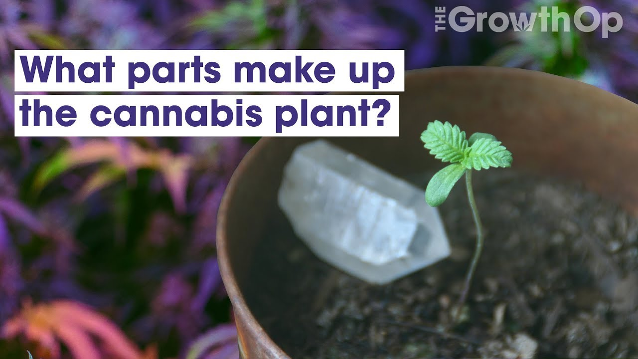 So, you want to learn how to grow marijuana outdoors | The GrowthOp