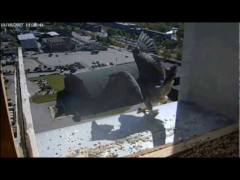 Single Digits Peregrine Falcon - Somebody behind the nest box ! ( 20171013)