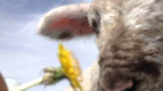 Dandelion benefits everyone! including lambs. みんな大好き!たんぽぽ。