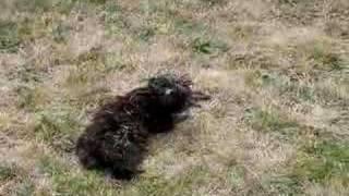 Pixie Rolls In A Dead Bird