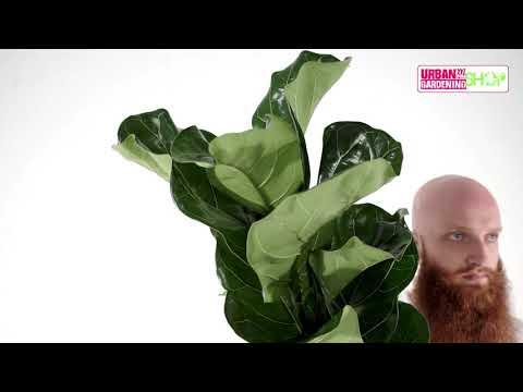 OSKAR - Geigenfeige (Ficus lyrata)