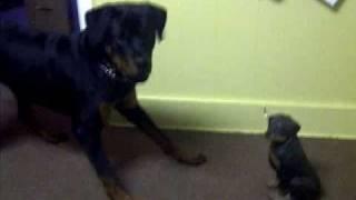 Rottweiler Meets Rottweiler Statue