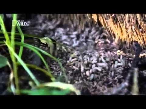 BBC Documentary 2017 - Scavengers Of Yellowstone - Full Wildlife Documentary