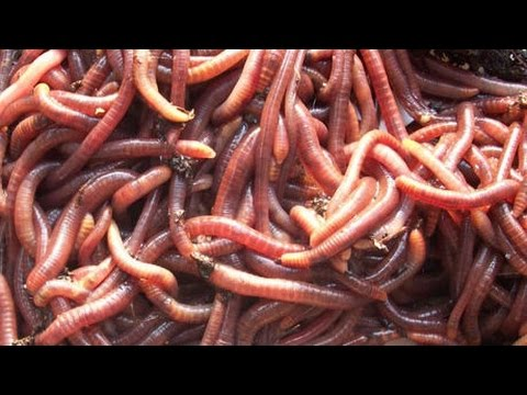 Catch Worms My Way!! Without Digging, Dish Soap, Walnuts, Electricity, Etc.