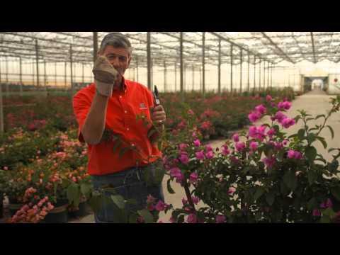 How to Clip Bougainvillea : Garden Savvy