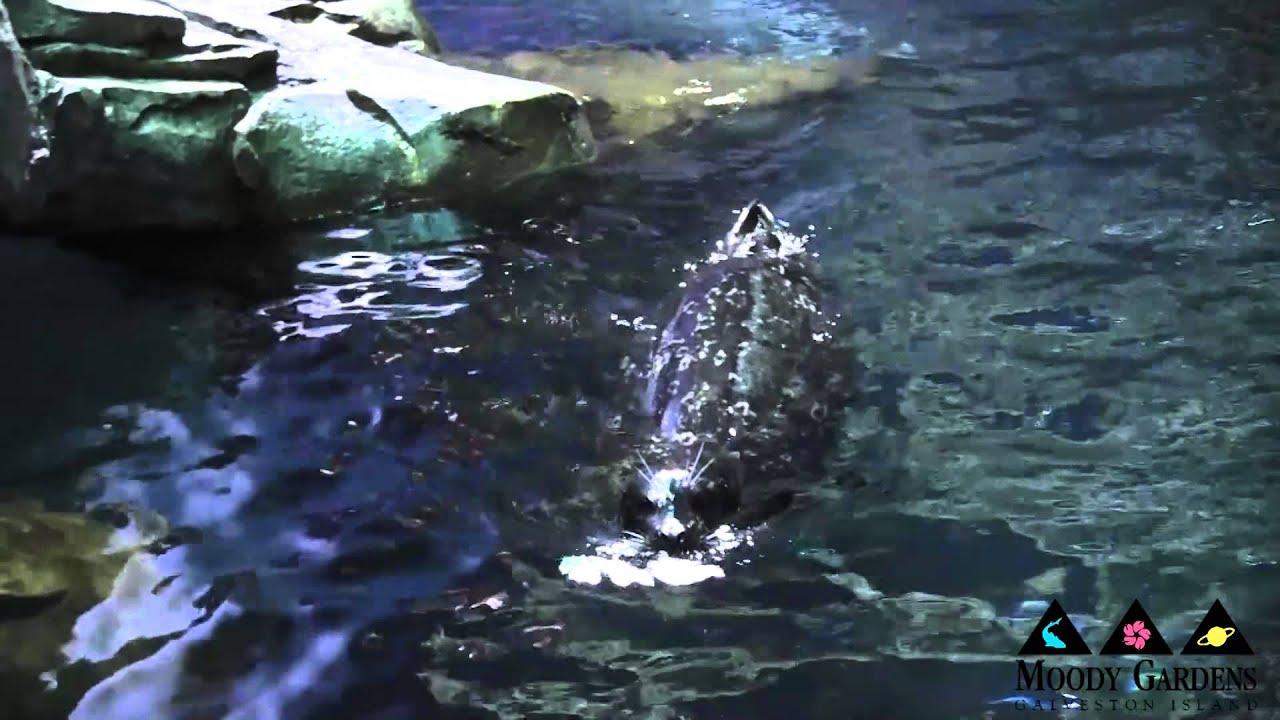 Seals Sea Lions 101 At Moody Gardens Galveston Island