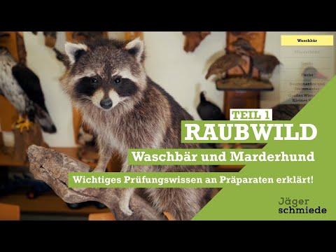 🦝 Raubwild (Teil1):