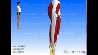 Les muscles de la cuisse : les 3 loges