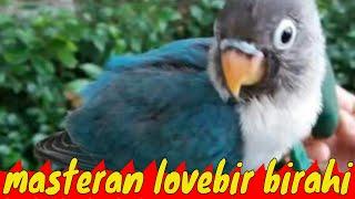 Gambar cover Pancingan lovebird ngekek