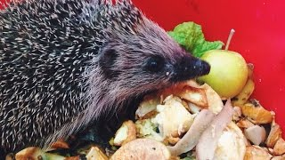 Hedgehog Diet, Information, Facts & Footage | why you shouldn't give them milk