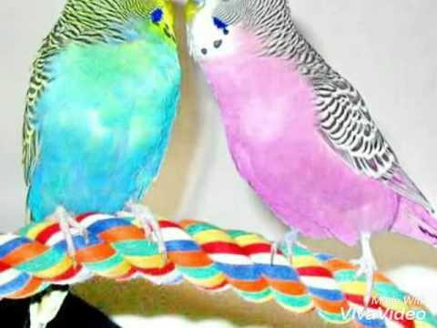 Окрасы волнистых попугаев. А какого окраса твой попугайчик? 🐦