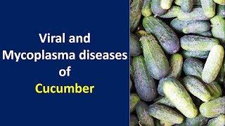 Viral and mycoplasma diseases of Cucumber