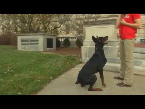"super-doberman-""finn""-obedience-protection-kid-friendly-dog-for-sale"