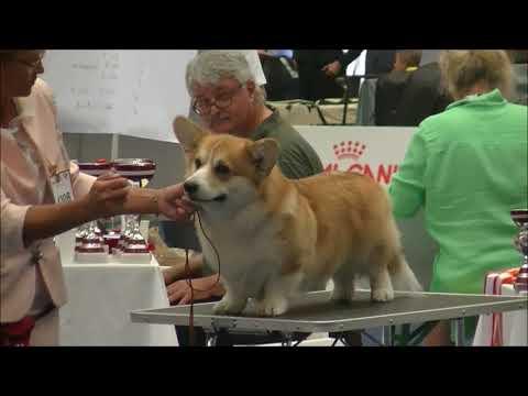 Pembroke Welsh Corgi Euro dog show 2019