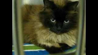 Himalayan Cat available for adoption at Orphans of the Storm