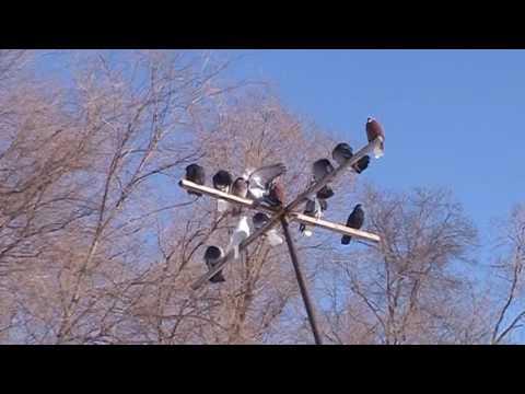 голуби в Тольятти