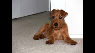 #135 IRISH TERRIER 1/2  | Which Dog Should I Get? Dog Breed Selector