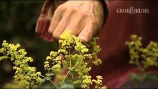 Vrouwenmantel (Alchemilla) terugknippen - Groei & Bloei