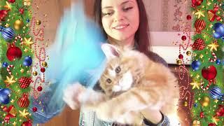 ЛИРИКУМ Златоуст Бестович - 3 месяца, взвешивание крупного котенка мейн-кун