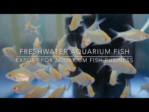 Freshwater aquarium fish supply and export from Thailand