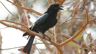 Gambar cover burung Srigunting gacor - suara pikat burung srigunting di alam liar jamin 100% ampuh
