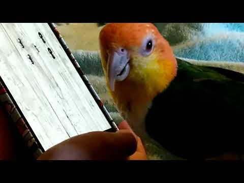 Caique playing video games?