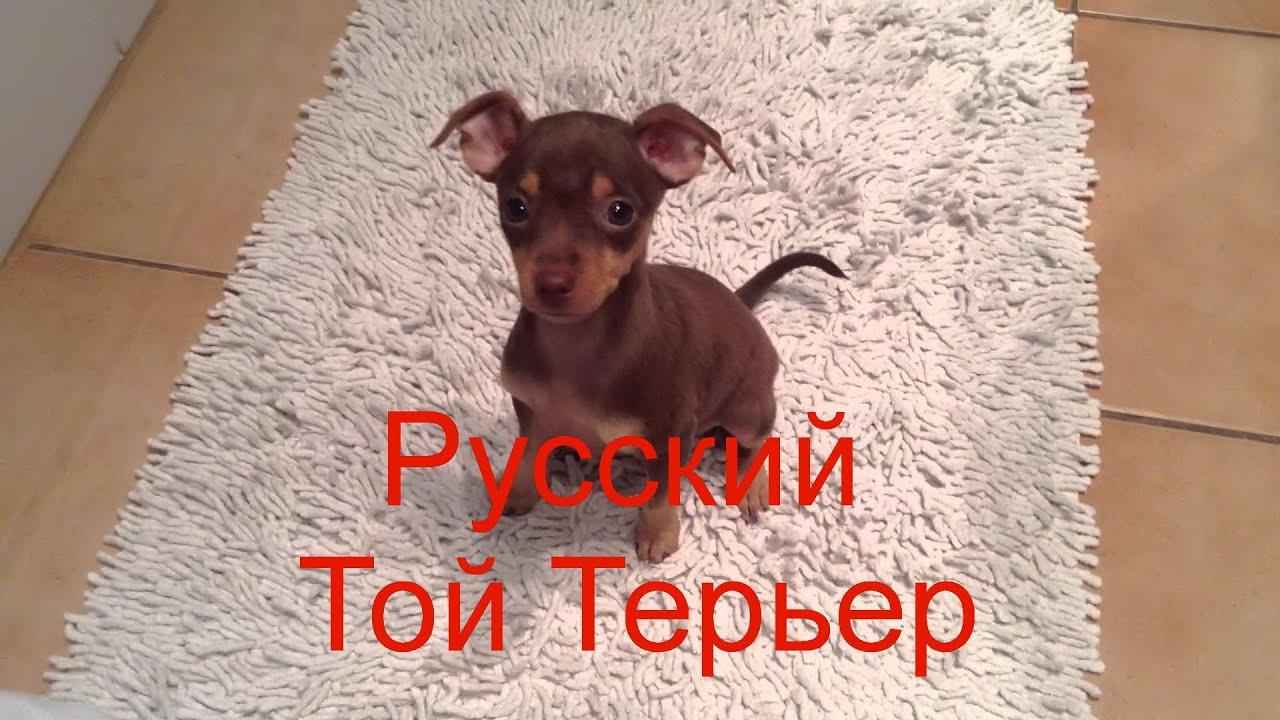 русский той терьер фото видео