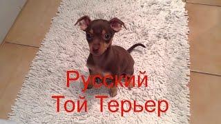 Русский той терьер - порода собак, относящаяся к группе декоративных собак.