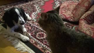 Спаниель и кошка
