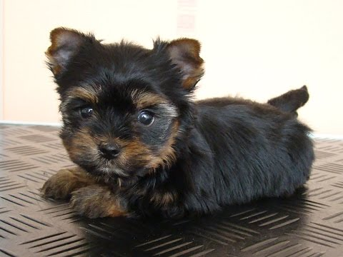 Йоркширский терьер (йорк, Yorkshire Terrier, фото, видео