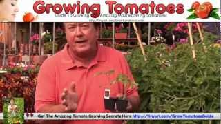 Growing Tomatoes Pots - Tomato Growing Upside Down