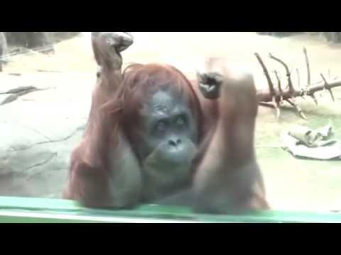 приколы с орангутангами ютуб