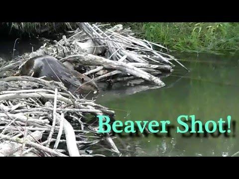Beaver shot!