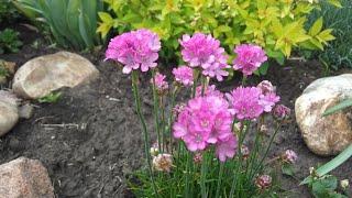 Что цветет на клумбах в конце мая? Тиарелла, шиловидный флокс, ясколка, армерия, камнеломка и др.