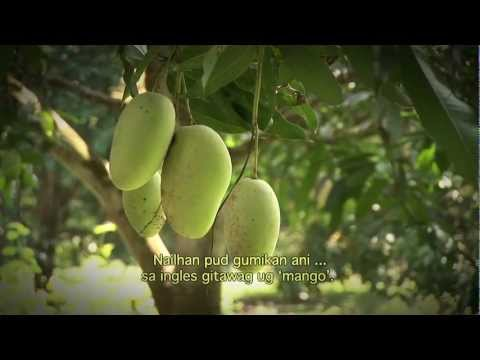 Empowering mango growers of Samal Island, Philippines