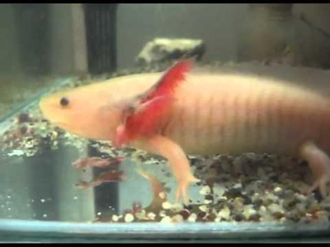 Salamander fish youtube for Youtube fishing video