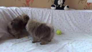 щенки померанских шпицев забавное видео