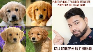 Cheap price Golden retriever puppies for sale 12000 in Delhi and NCR ||9711696640||