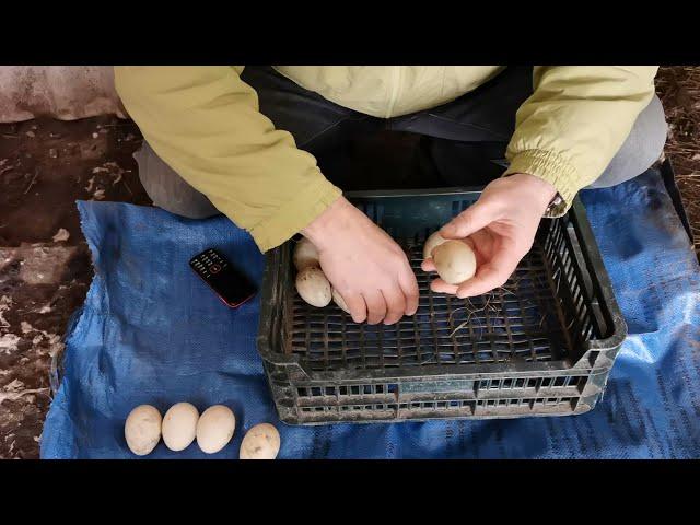 Подготовка гнезда и выбор яиц для утят. Как выбрать? Мускусная утка (индоутка). Ферма Чистяковых.