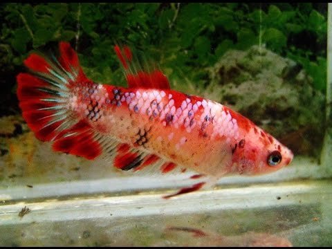 Imported Female Bettas From Thailand - Acclimating with the Drip Method