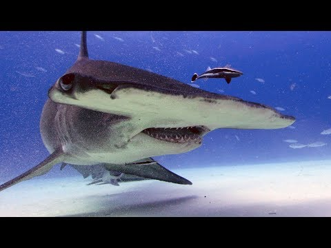 5 Ways Sharks Have Made Our Lives Better | SHARK WEEK